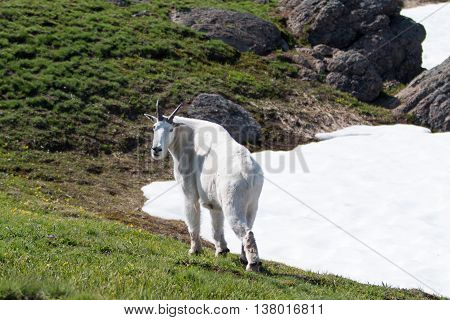 Male Billy Mountain Goat looking back on Hurricane Ridge snowfield in Olympic National Park in Washington State USA