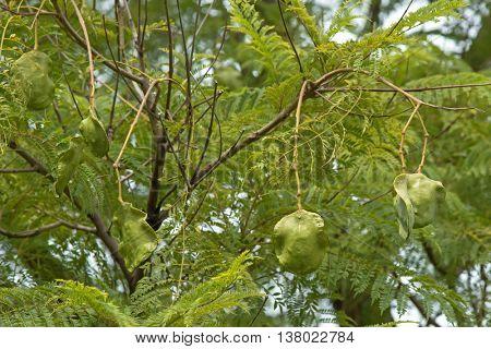 Closeup of fresh green Jacaranda seed pods on its tree, in South Australia