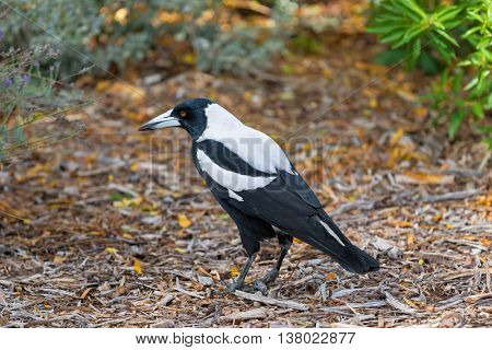 Closeup of Male Australian magpie bird in black and white plumage walking in the park during Autumn in South Australia