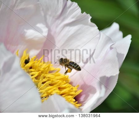 Working bee with pollen on the legs sits on a flower peony treelike