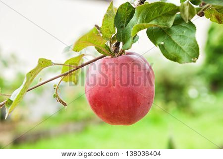 Big red apple on the apple tree branch