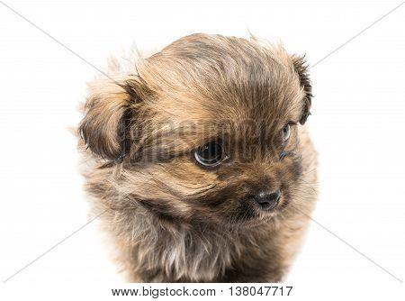 animal, baby puppy isolated on white background