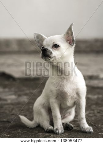 Chihuahua puppy sitting looking to the side