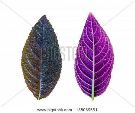 Close up purple leaf isolated on white background.