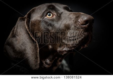 young German pointer dog  portrait on black
