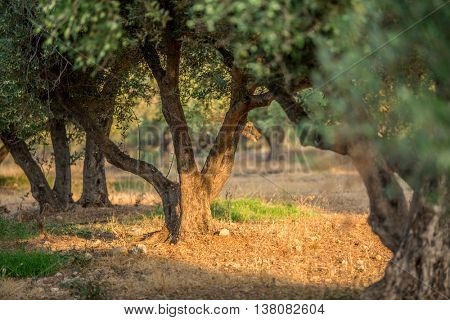 In the olive trees garden.