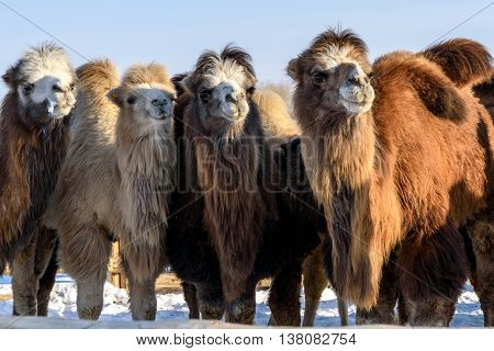 A herd of cute camels and little camels grazing in the paddock in winter sunny day