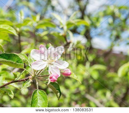 Apple flower. Closeup of shot of flower in the garden.