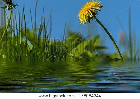 Spring floral natural background yellow dandelion flower close up on a meadow against a blue sky with reflection in water