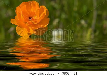 Bright floral natural background with orange flower closeup growing in a meadow on a sunny day with reflection in water
