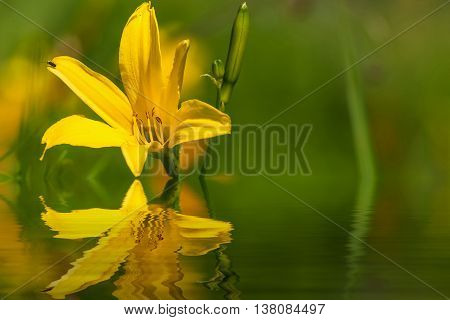 Delicate bright floral natural background with yellow lily flower closeup on a sunny day with reflection in water