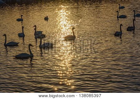 Beautiful winter view with swans in the sunlight swimming in the lake at sunset