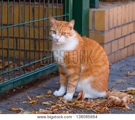Adult white and red cat sits in the street on the roadside