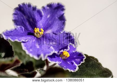 Blue violets with white wavy border and yellow center on a blurred background