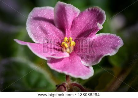Pink violet flower with a white border on a blurred background of green leaves