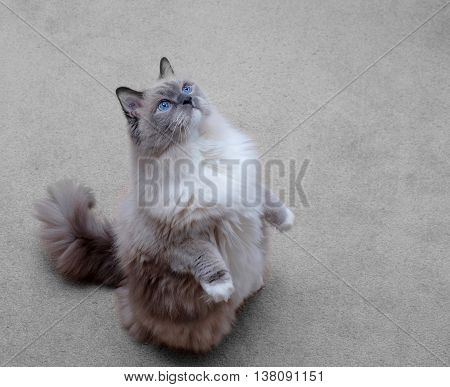 Cat sitting. Purebred ragdoll cat blue mitted.