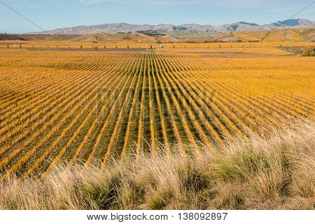 autumn vineyards in Marlborough region, New Zealand