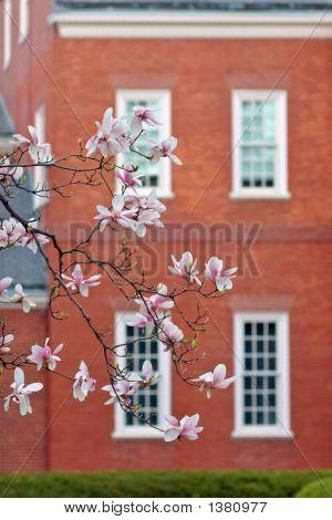 Cherry Tree Over Brick House