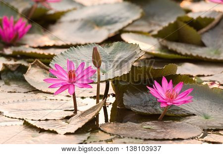 close up pink color fresh lotus blossom or water lily flower blooming on pond background