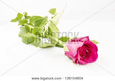Pink Rose isolated on White background Classic style
