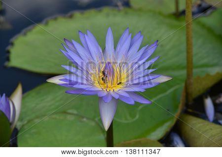 violet lotus flower & bees . .