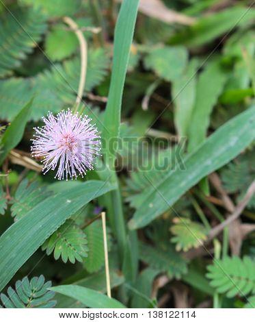 Beautiful violet/purple flowers mimosa pudica sensitive plant sleepy plant or shy plant.