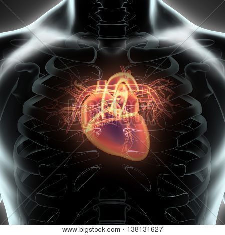 3D Illustration Of Human Internal Organic - Human Heart.