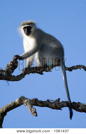A Vervet Monkey Lookout About To Call The Alert