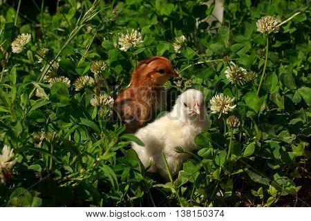 Two little chicks walking in a meadow