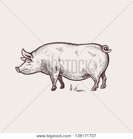 Vector illustration - domesticated animals. Graphics handmade drawing. Vintage engraving style. A series of farm animals. Nature - Sketch. Isolated pig image on a white background.