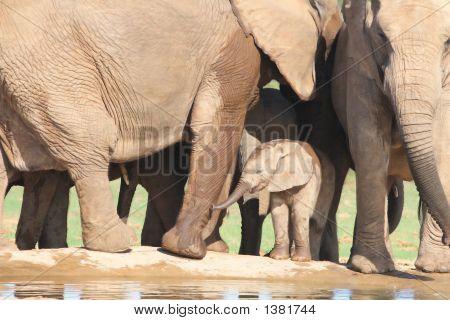 African Elephant Calf Amongst Adults Legs