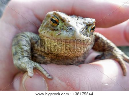 Frog - Toad - Bufo Bufo in hand