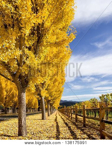 Yellow gingko trees in Napa Valley, California vineyard in autumn. Falling leaves cover the ground. White clouds with blue sky. Fence line next to a Napa vineyard at harvest time. Far Niente winery.