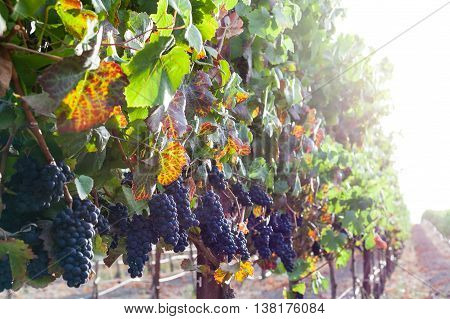 Colorful leaves, ripe red wine grapes on the vine at harvest. Grapevines in autumn, with green, yellow, red grape leaves. Vineyard row with soft sunlight in the fall. Grapes hang from vines.