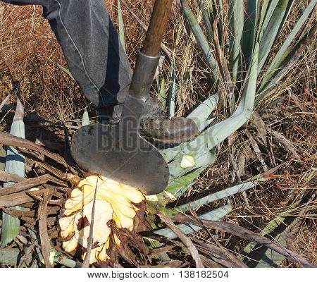 A man work in tequila industry agave