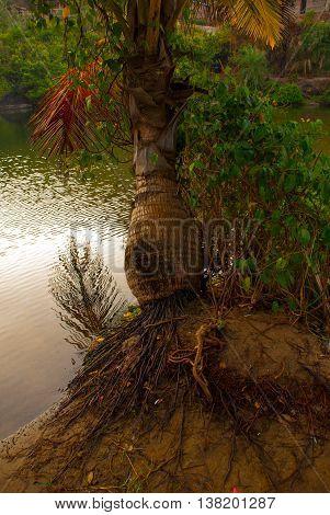 Palm Trees. Lake. Goa State, India.