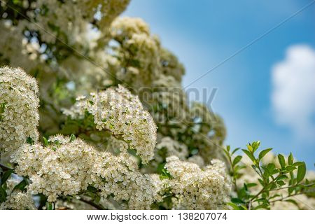 white flowers in spring. Soft image of a blossoming tree