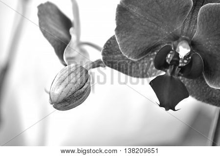 Black And White Moth Orchid Against White
