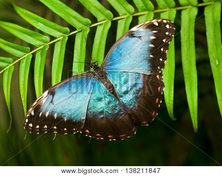 Blue shiny butterfly on a palm leaf - morpho peleides
