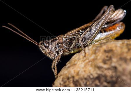 Field grasshopper (Chorthippus brunneus) with orange on abdomen. Long-winged insect in family Acrididae with sharply indented shield and hairy underside