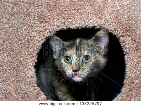 tortoiseshell torbie tabby kitten peeking out of a carpet post. The tortie pattern is only present in female tabby cats a recessive trait.