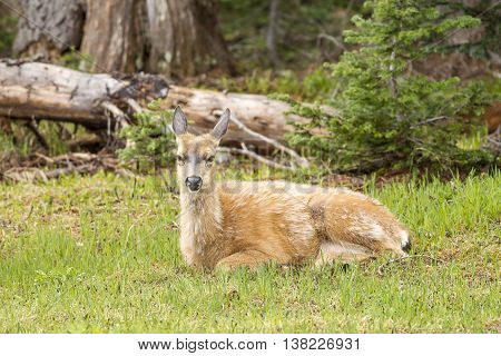 Female Black-tailed deer laying in grass on Hurricane Ridge in Washington.
