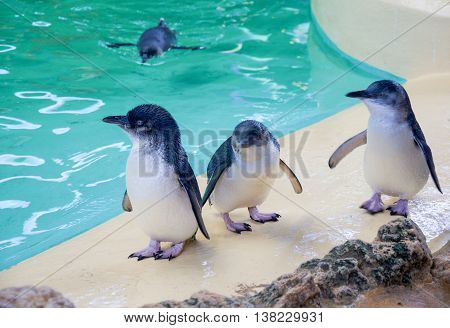 ROCKINGHAM,WA,AUSTRALIA-JUNE 3,2016: Three Little Blue Penguins standing by water tank with one swimming in the background at Penguin Island in Rockingham, Western Australia.
