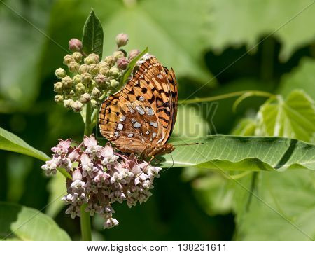 Great Spangled Fritillary butterfly, Speyeria Cybele, a member of the Nymphalidae family, on Milkweed flower