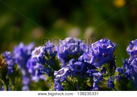 Sky Pilot Purple Wildflower Flower Plant Blooms