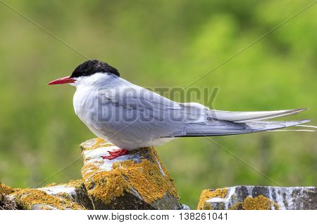 Arctic tern Farne Islands Nature Reserve England
