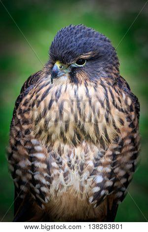 A New zealand falcon (Falco novaeseelandiae) close-up