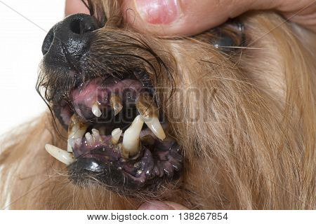 tartar teeth of old dog in studio