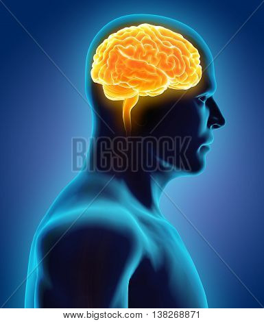 3D Illustration Of Human Internal Organic - Brain.