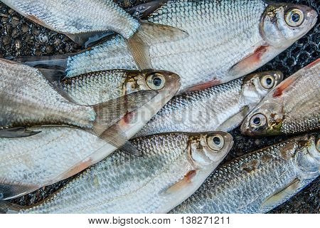 Pile Of Freshwater Common Bream Fish And Silver Bream Or White Bream Fish On Fishing Net As Backgrou